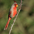 Pyrrhuloxia On Thorns by Judi Dressler