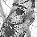 Quail In The Poplar Tree by Carol Groenen