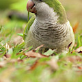Quaker Parrot #3 by David Cutts