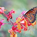 Queen Butterfly On Mexican Bird Of Paradise  by Saija Lehtonen