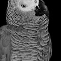 Quizzical African Grey by Debbie Stahre
