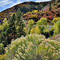 Rabbitbush And Fall Colors Along Highway 133 by Ray Mathis