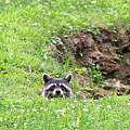 Raccoon Barely Peering Over Edge by Dan Friend