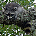 Raccoon In Repose by Bruce Gourley