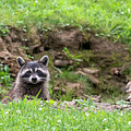 Raccoon Peering Over Edge Of Ditch by Dan Friend