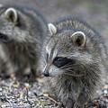 Raccoon Siblings by Deborah Benoit