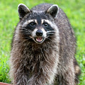 Raccoon Washing His Hands And Laughing  by Dan Friend