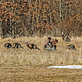 Rafter Of Wild Turkeys by Sue Smith