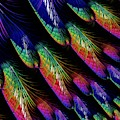 Rainbow Colored Peacock Tail Feathers Fractal Abstract by Rose Santuci-Sofranko