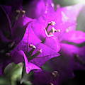 Rays Of Bougainvillea by Jorgo Photography - Wall Art Gallery