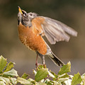 Ready To Fly Robin Square by Terry DeLuco