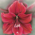 Red Amaryllis by MM Anderson