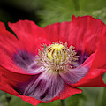 Red And Purple Iceland Poppy 9483 By Tl Wilson Photography by Teresa Wilson
