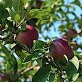Red Apples In The Apple Tree by Tatiana Travelways