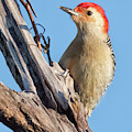Red-bellied Woodpecker 3071 by Dan Beauvais