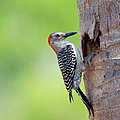 Red-bellied Woodpecker by Guillermo Armenteros, Dominican Republic.