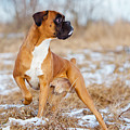 Red Boxer Dog Standing Outdoors by Otsphoto