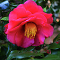 Red Camelia by Skip Willits