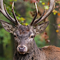 Red Deer by Arterra Picture Library