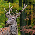 Red Deer In Forest by Arterra Picture Library