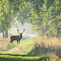Red Deer In The Forest by Brothers Beerens