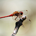 Red Dragonfly by Christina Rollo