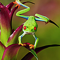 Red-eyed Tree Frog, Agalychnis by Kitchin And Hurst