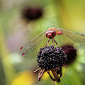 Red Faced Dragonfly by Max Huber