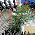 Red Flowered Tropical Climbing Vine by Kay Novy