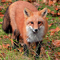 Red Fox by Debbie Stahre