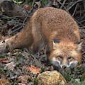Red Fox Dmam0050 by Gerry Gantt
