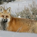 Red Fox In The Snow by Fox Art and Photography