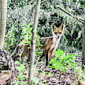 Red Fox In The Woods by William Rogers