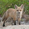 Red Fox Kit #2 by Paul Rebmann