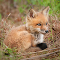 Red Fox Kit - Watchful #1 by Todd Henson