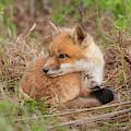 Red Fox Kit - Watching Over Shoulder by Todd Henson