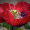Red Iceland Poppy 9468 By Tl Wilson Photography  by Teresa Wilson