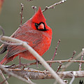 Red In Winter by David Cutts