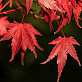 Red Japanese Maple Leaves by Robert Potts