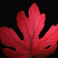 Red Leaf Art by Donald Spencer