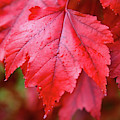 Red Leaf by Colin Rayner