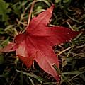 Red Leaf by Pics by Jody Adams
