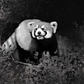 Red Panda by Angela Murdock