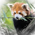 Red Panda by Chris Armytage