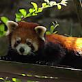 Red Panda by Chris Flees
