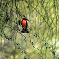 Red Perched Bird by Chance Kafka