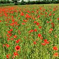 Red Poppies Meadow by Malgorzata Larys