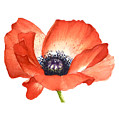 Red Poppy Flower, Image For Prints On Tshirt by Mahsa Watercolor Artist