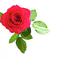 Red Rose White Background by Helen Northcott