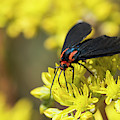Red-shouldered Moth by Robert Potts